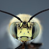 Anthophora californica