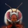Centris rhodopus female