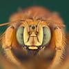 Xylocopa varpuncta