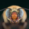 Centris cockerelli female