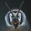 Megachile female