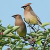 Two Cedar Waxwings