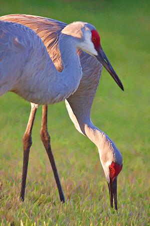 sandhill crane_7912