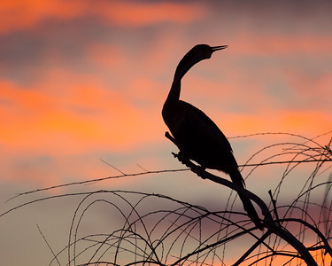 anhinga sunset_1911