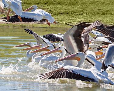 lrg pelicans_MG_9421