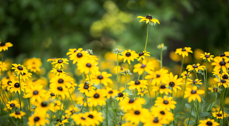 Field of Blackeyed Susans