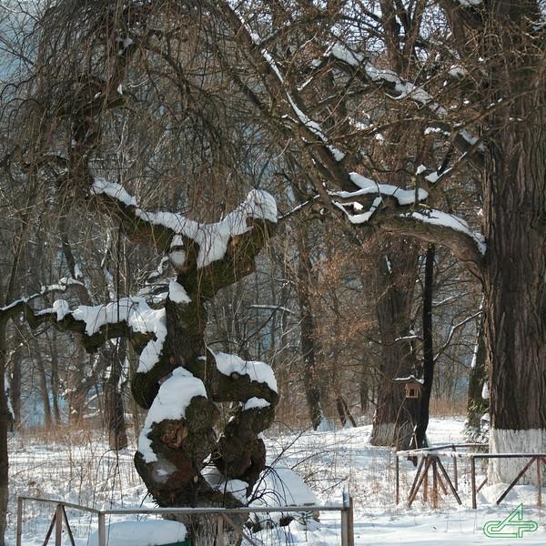 Заліщики 2014, лютий, 4.  Коло палацу Бруницького мерзне софора