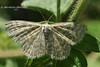 Пр'ядун малий хвилястий - Scopula immorata (Linnaeus,)