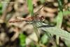Тонкочеревець Фонсколомба (Sympetrum fonscolombii)