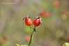 Шипшина звичайна (дика троянда) * Rosa rubiginosa