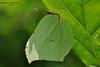 Лимо́нниця * Gonepteryx