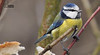 Cиниця блакитна * Parus coeruleus