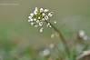 Грицики звичайні (Capsella bursa-pastoris)