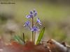 Проліска дволиста Scilla bifolia L