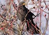 Дрізд чорний (Turdus merula)