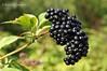 Бузина чорна * Sambucus nigra