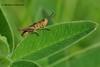 Прямокри́лі * Orthoptera