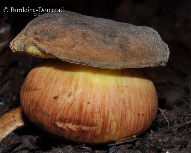 Дубовик крапчатый  *  Boletus erythropus