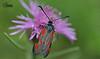 Пестря́нки * лат. Zygaenidae
