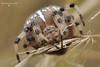 Павук-хрестовик  (Araneus diadematus)