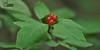 Вовчі ягоди звичайні * Daphne mezereum, вовче лико