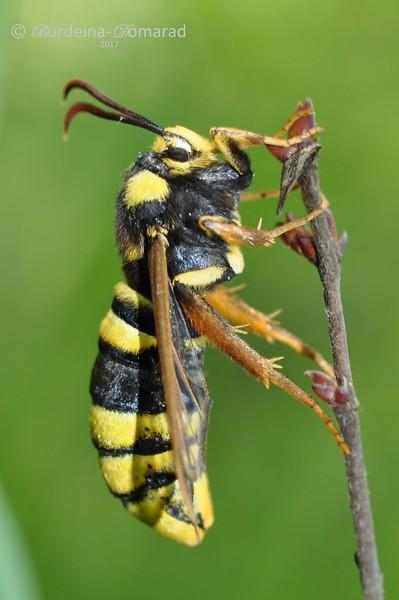 Велика склівка * Sesia apiformis