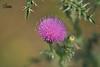 Розторопша плямиста * Silybum marianum