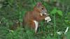 Білка звичайна * Sciurus vulgaris