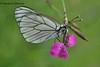 Білан жилкуватий (Aporia crataegi L.)