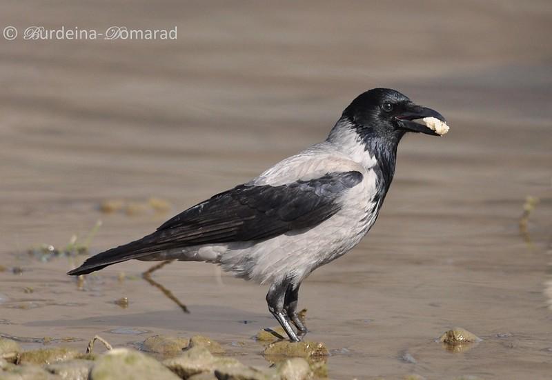 Ворона сіра (Corvus cornix)