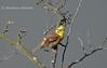 Вівсянка звичайна (Emberiza Citrinella)
