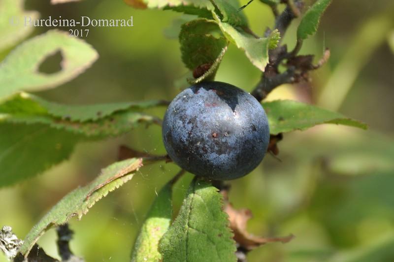 Терен звичайний * Prunus spinosa
