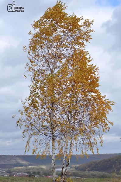 Береза * лат. Betula