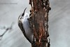 Підкоришник звичайний (Certhia familiaris)