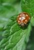 Со́нечка, або Кокцінелі́ди, або Сонечкові * Coccinellidae Latreille