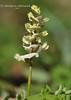 Ряст Маршала (Corydalis marschalliana)