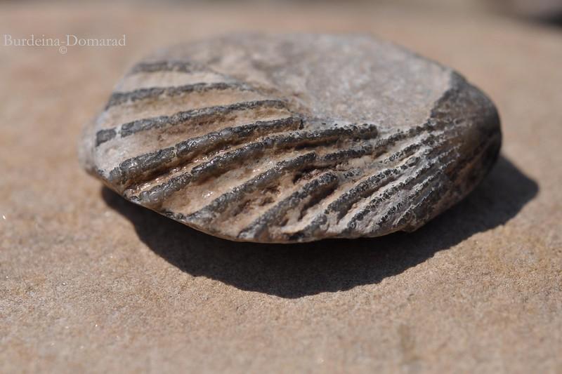 Скамянілі рештки молюска