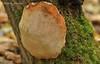Фелін залізний * Phellinus ferreus