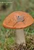 Підосиковик, підосичник, осиковик, бабка червона, червоний козар  * Boletus aurantiacus Bull. ex Fr. Leccinum aurantiacum (Bull. ex Fr.)