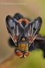 Ектофазія * Ectophasia crassipennis