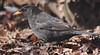 Дрізд чорний * Turdus merula