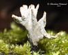 Ксилярія гіпоксілон *  Xylaria hypoxylon