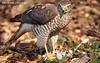 Перепелятник, малий яструб (Accipiter nisus)