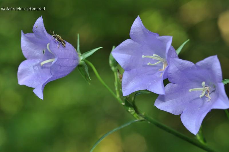 Дзвоники персиколисті. Лат.: Campanula persicifolia
