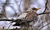 Чикотень (Turdus Pilaris)