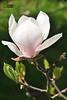 Магно́лія * Magnolia