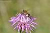 Бджола́ медоно́сна [1] * Apis mellifera