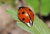 Сонечко * Coccinellidae