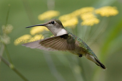 069982 Female Ruby-Throated Hummingbird