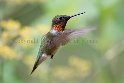 060690 Male Ruby-Throated Hummingbird